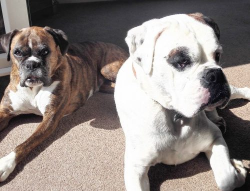 Our Cornish boxer dog adventures…